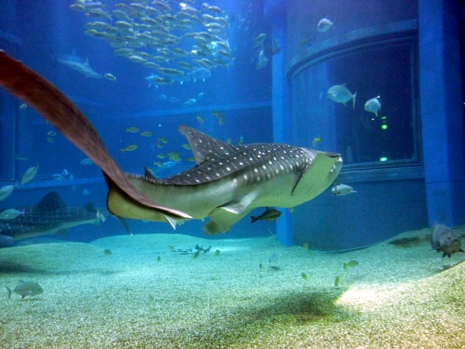 Annie safe go west for Baby shark fish